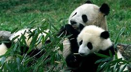 Panda Poop into Paper?
