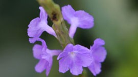 Blue Porterweed