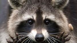 The Raccoon