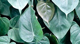 The Philodendron