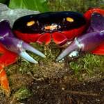 The Halloween Crab