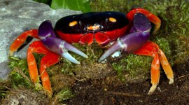 The Halloween Crab