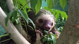 The Two-Toed Sloth