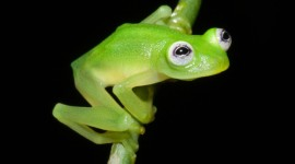 New Glass Frog Species Discovered in Costa Rica